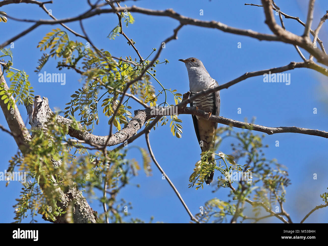 Madagascar Cuckoo (Cuculus rochii) adult male perched on branch, Madagascan endemic   Ampijoroa Forest Station, - Stock Image