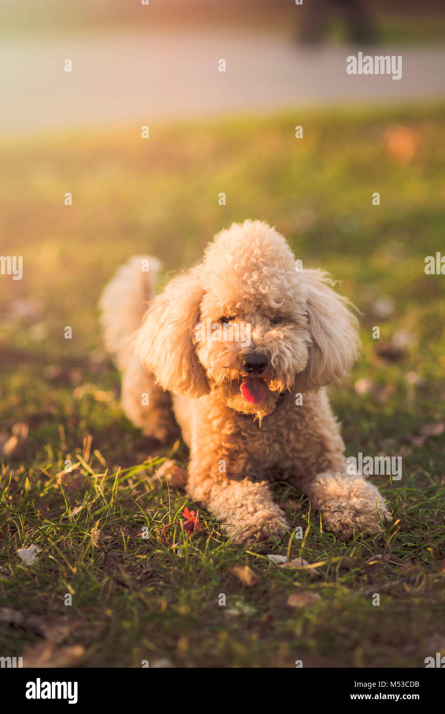 One cute miniature poodle, sunset in a park - Stock Image