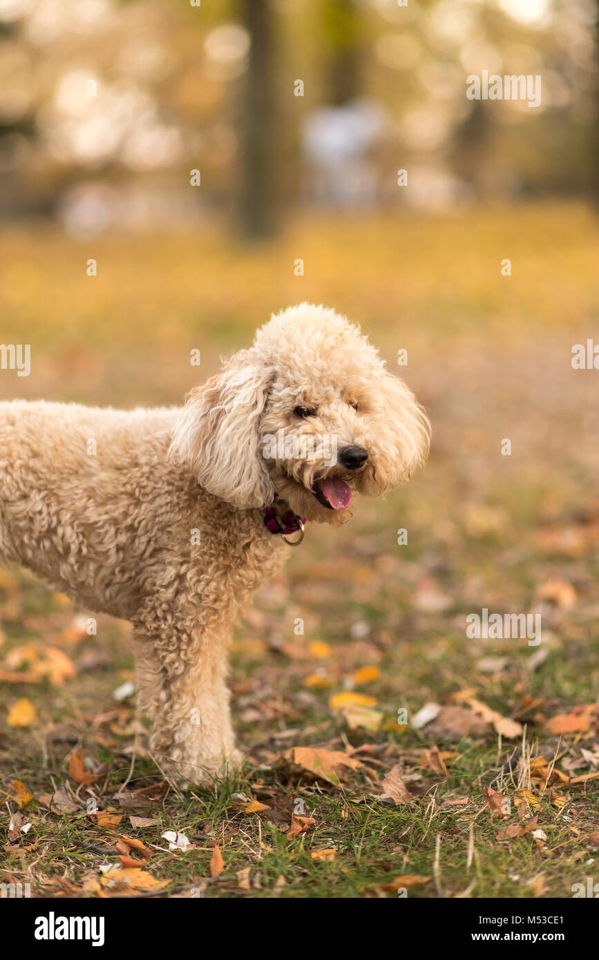 White miniature poodle, sunset in a park - Stock Image