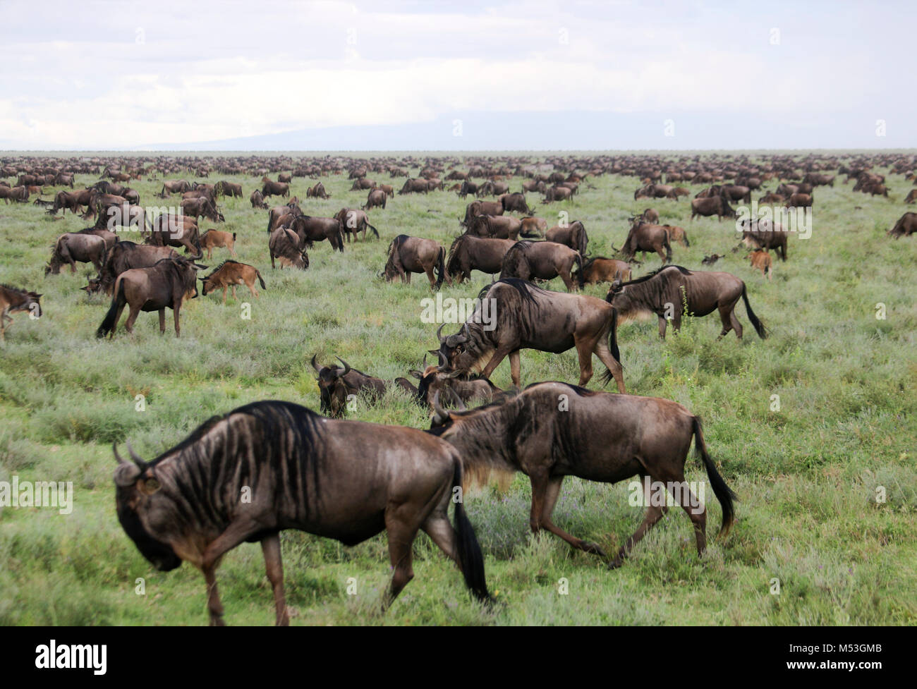 Annual migration of over one million Blue Wildebeest (Connochaetes taurinus) and 200,000 zebras. Photographed in - Stock Image