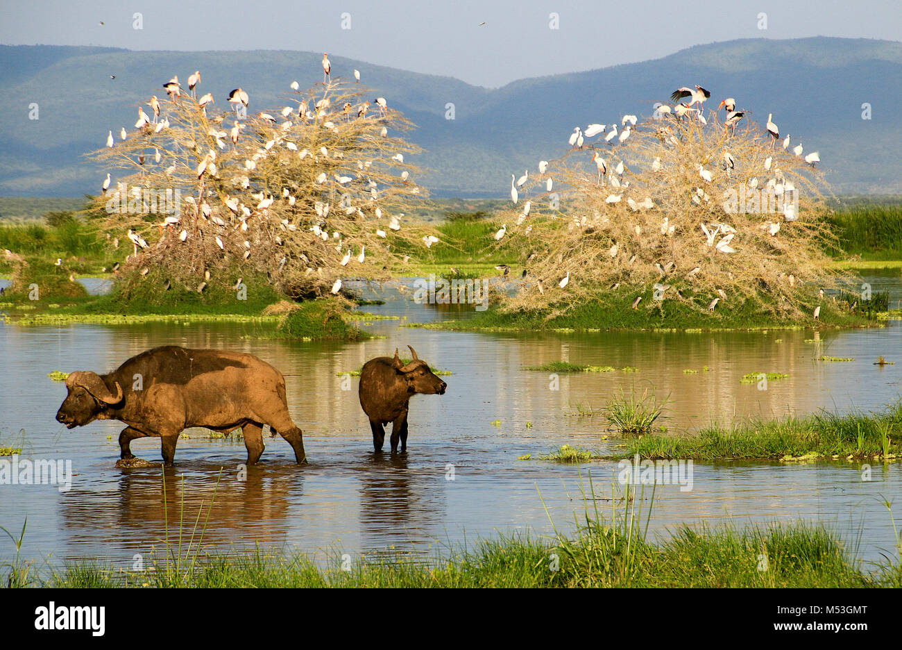 African Buffalo AKA Cape Buffalo (Syncerus caffer) in a water hole. Photographed in Tanzania - Stock Image
