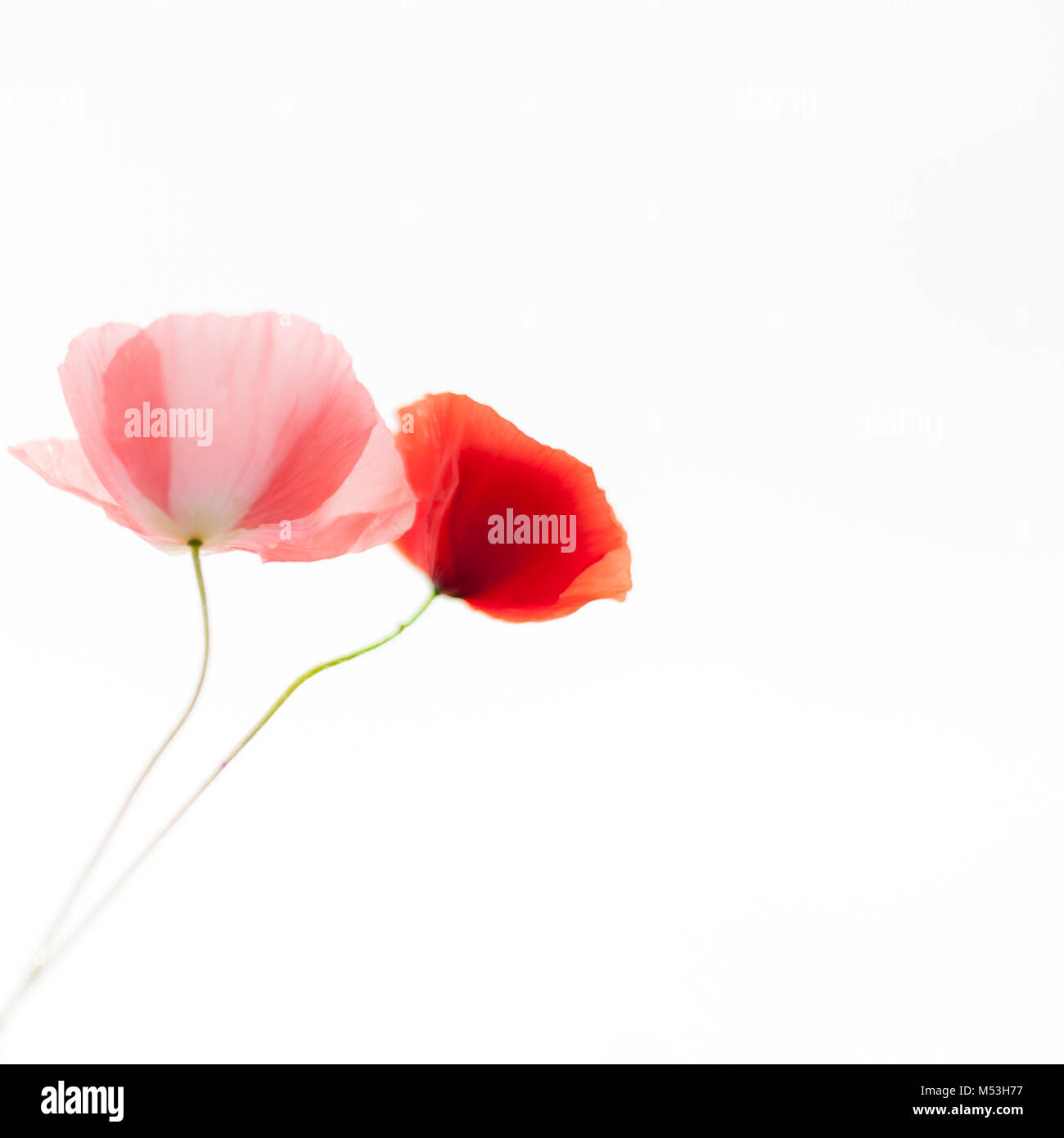 Poppies flowers on the white background. Soft, gentle, airy, elegant artistic image. - Stock Image