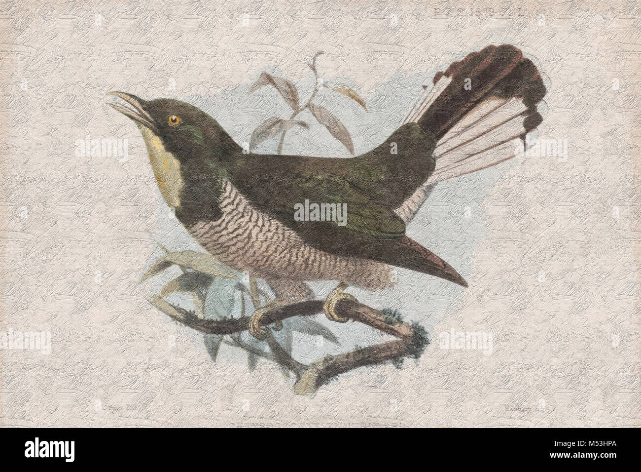 Digitally enhanced image yellow-throated cuckoo (Chrysococcyx flavigularis). A species of cuckoo in the Cuculidae - Stock Image