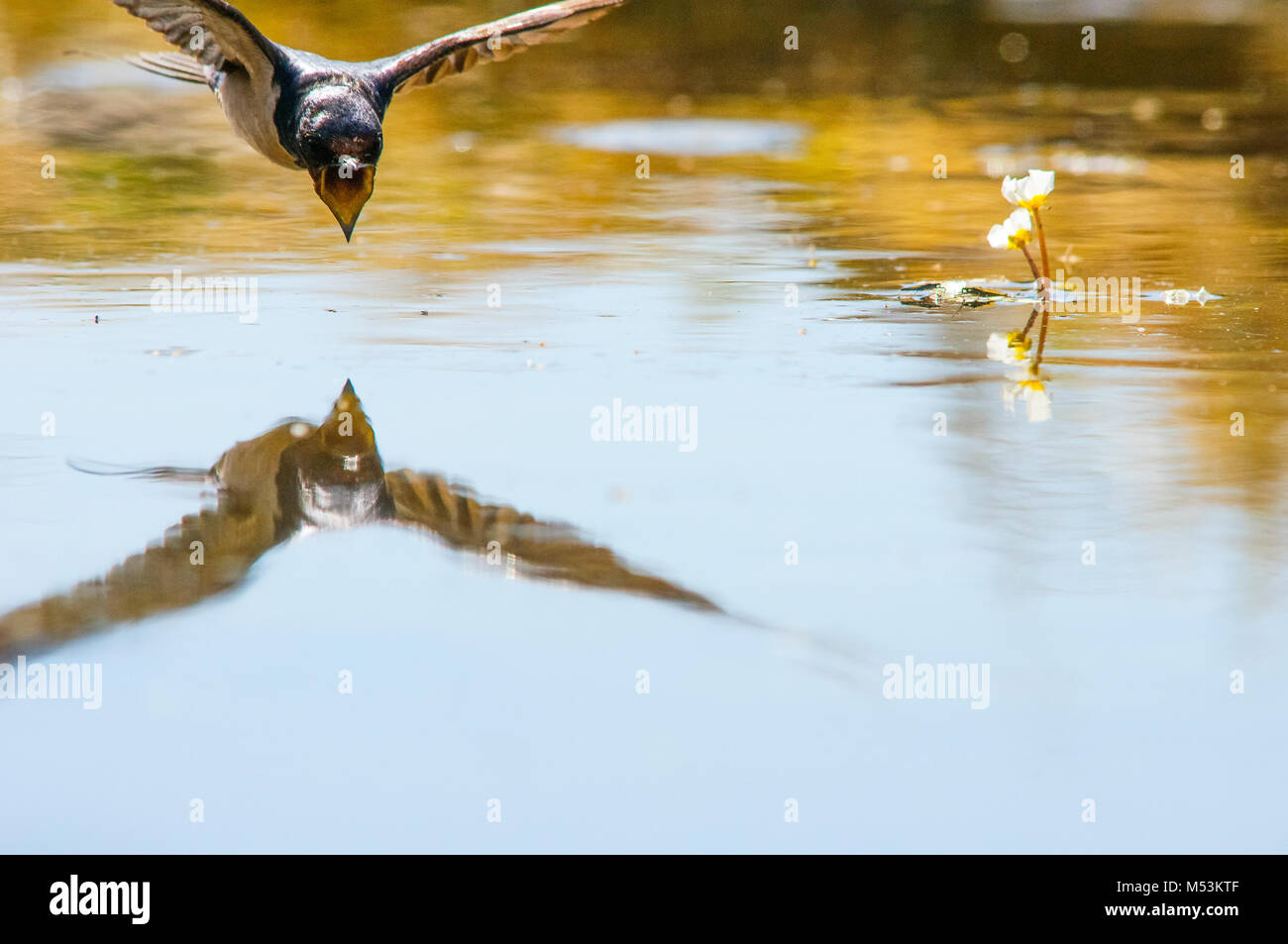 Barn swallow (Hirundo rustica) flying. Never stopped flying, even to drink - Stock Image