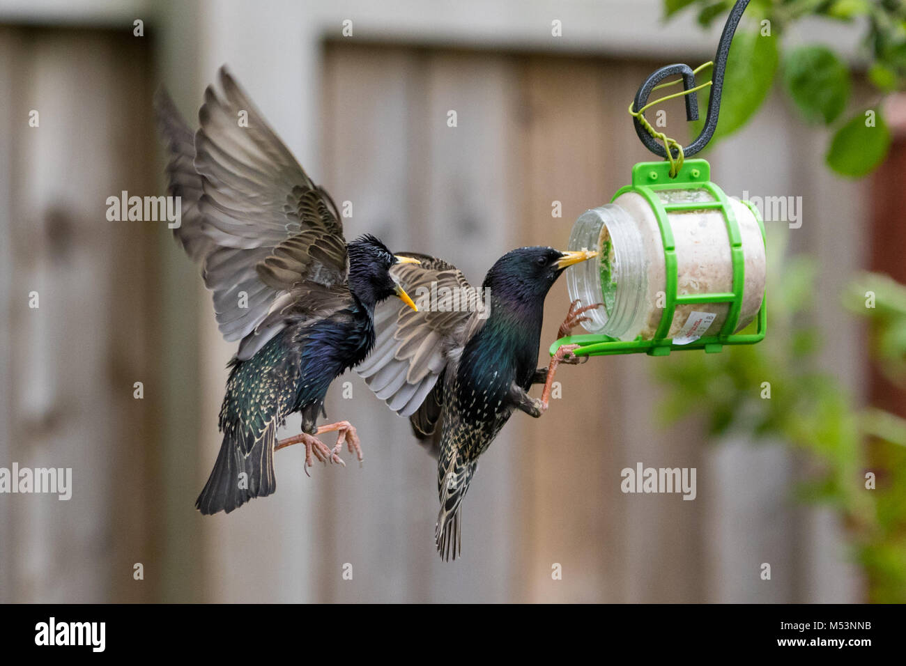 Starlings in flight fighting over food - Stock Image