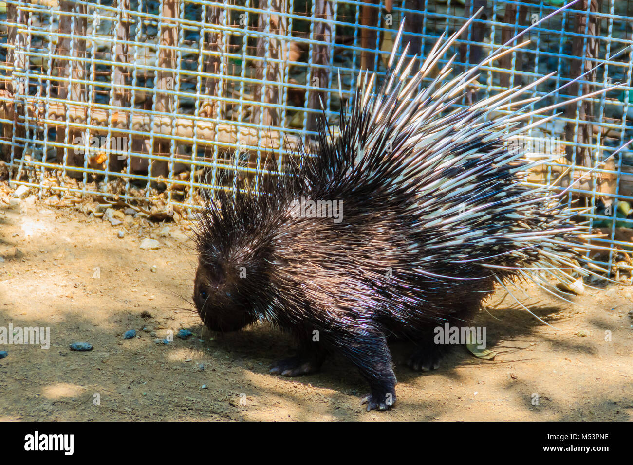 Cute Malayan porcupine, Himalayan porcupine, Large porcupine (Hystrix brachyur), a species of rodent in the family - Stock Image