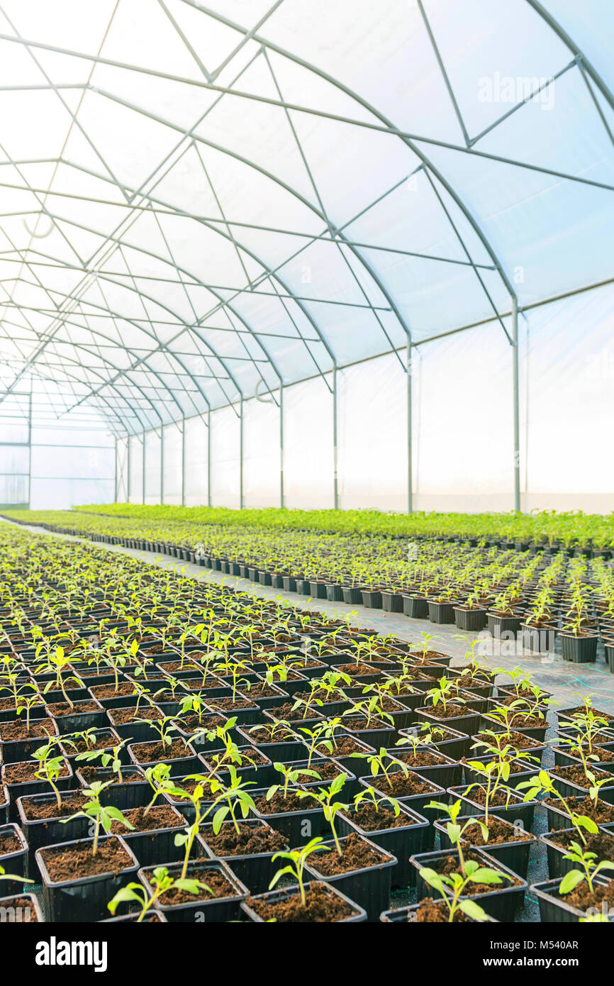 Rows of Potted Seedlings in Greenhouse - Stock Image