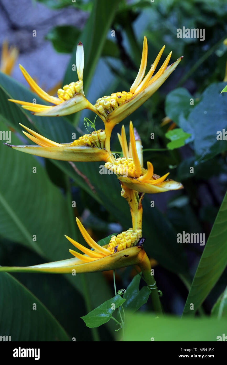 Blossoms from a Heliconia - Stock Image