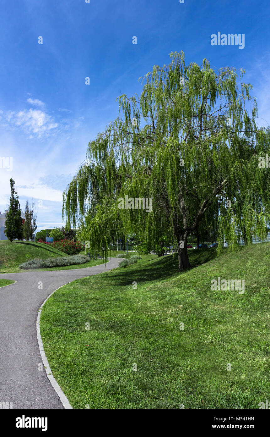 Weeping willow tree in an tidy urban park Stock Photo