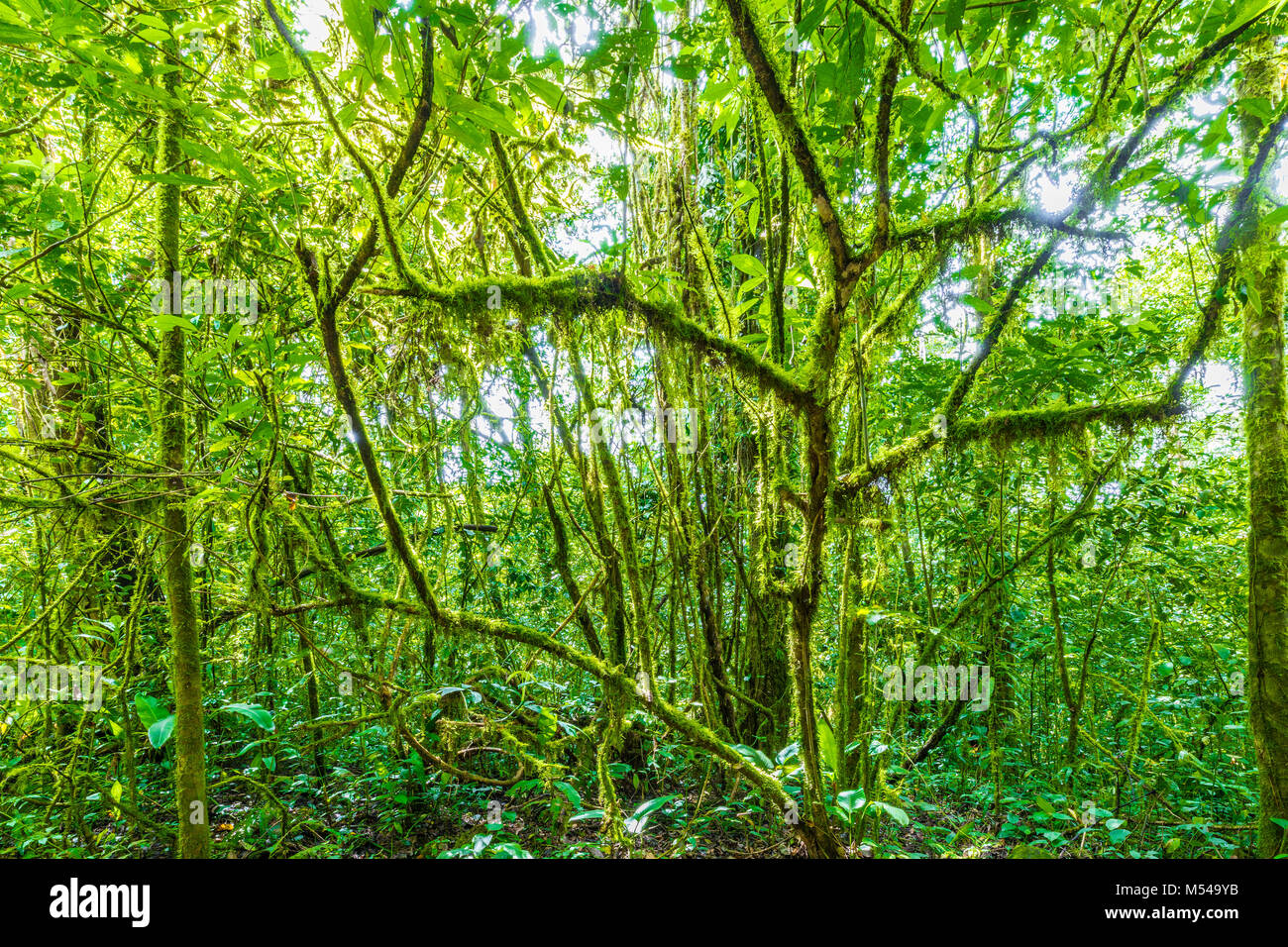 jungle lianas in panama - Stock Image