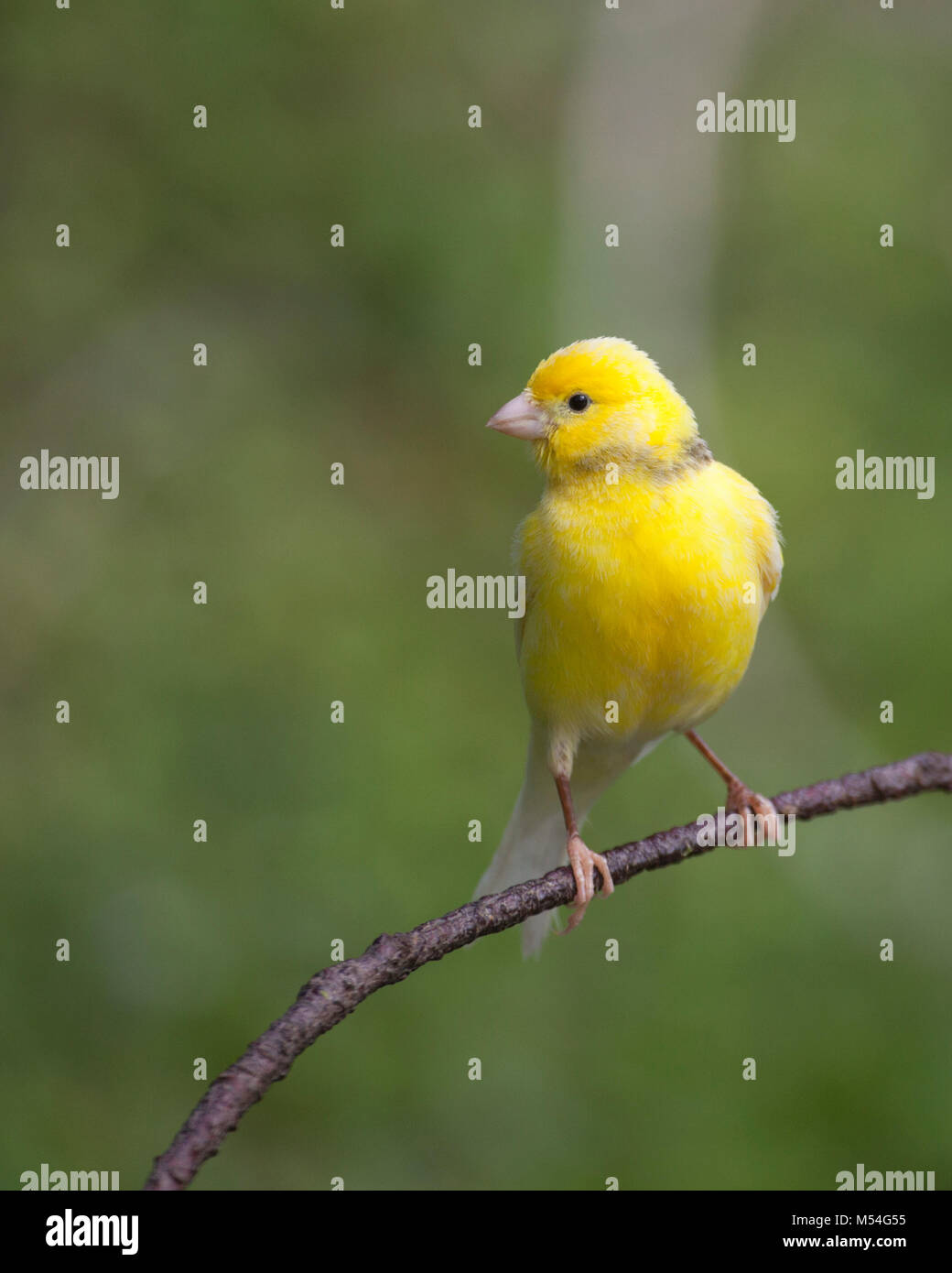 Wild canary (Serinus canaria) descended from pet birds released on Midway Atoll over a century ago by Commercial - Stock Image
