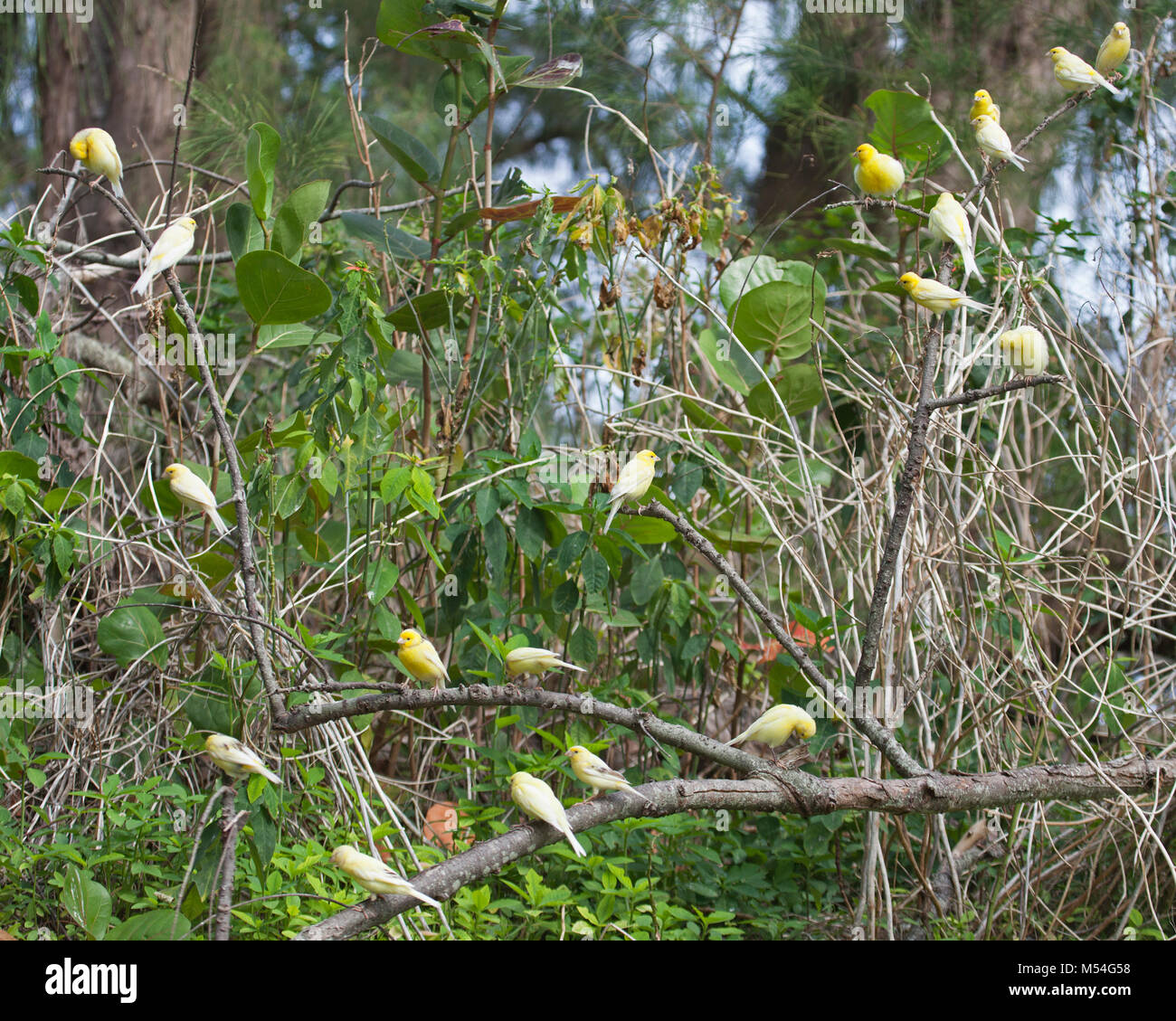 Wild canary flock (Serinus canaria) descended from pet birds released on Midway Atoll over a century ago by Commercial - Stock Image