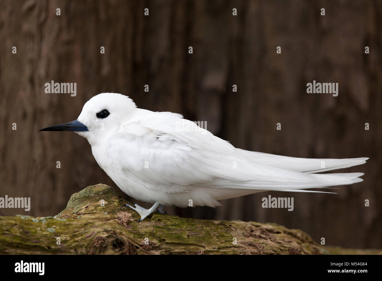 White Tern (Gygis alba rothschildi) perched on branch in forest - Stock Image