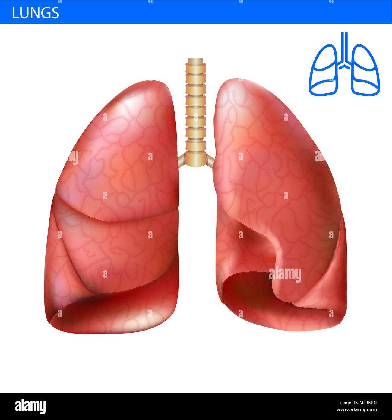 Human lungs anatomy realistic illustration front view in detail ...