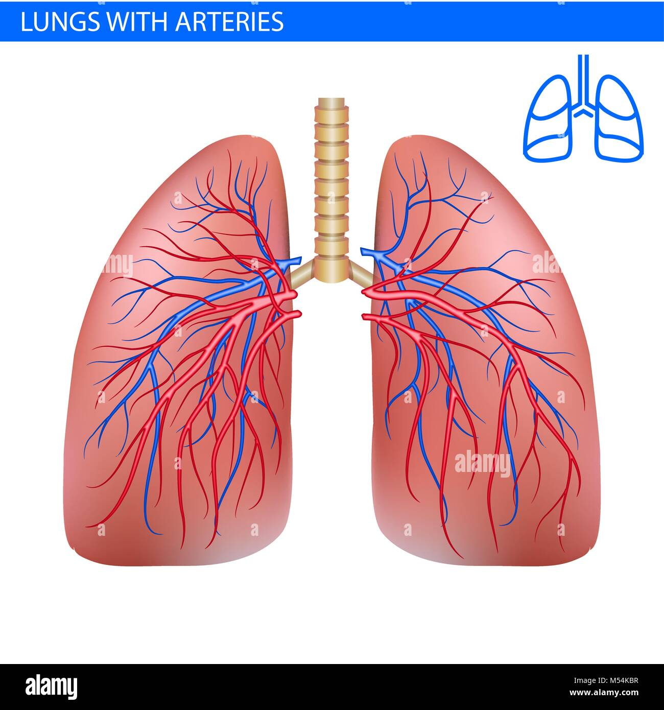 Human lungs anatomy with artery, circulatory system realistic Stock ...