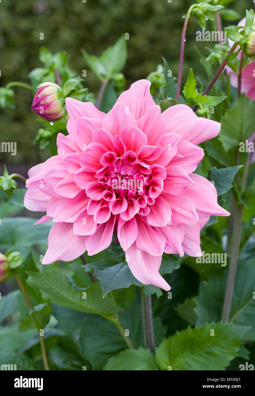Dahlia 'Otto's Thrill' flower. - Stock Image