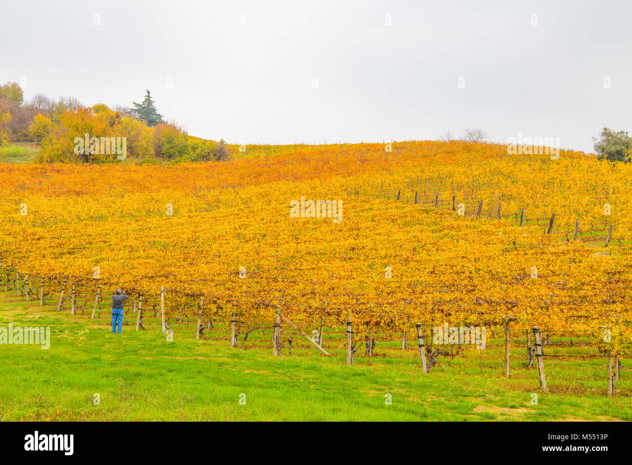 Hills of vineyards in autumn / Italy - Stock Image