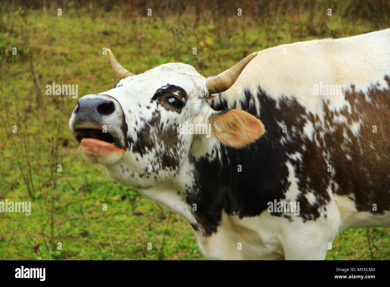 cow cries loudly on the pasture Stock Photo