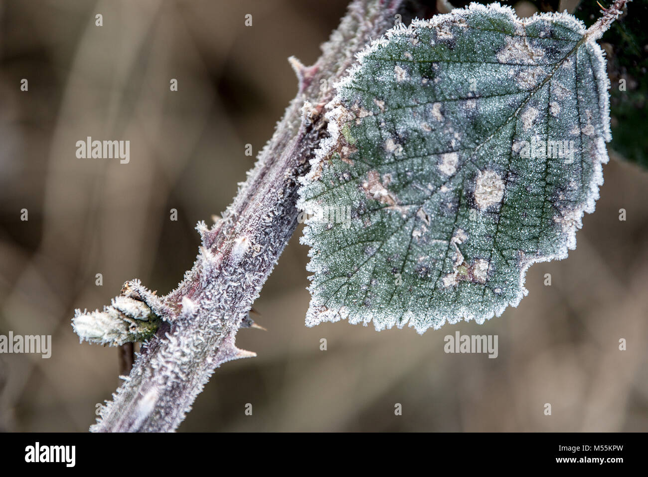 20 February 2018, Germany, Roggendorf: Ice cristals formed on a leaf of a blackberry. Photo: Federico Gambarini/dpa - Stock Image