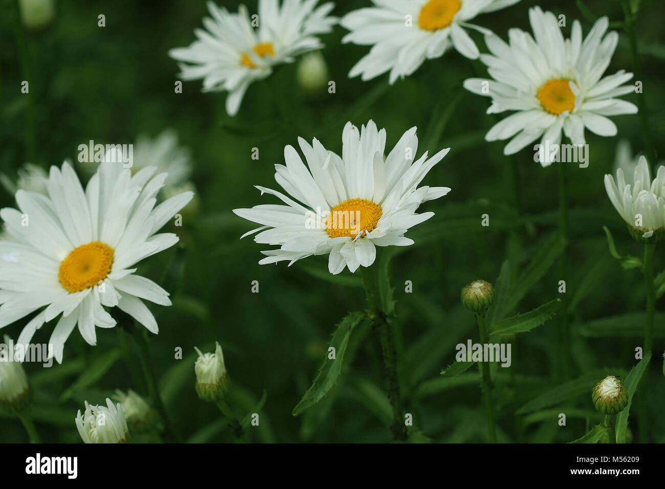 Beautiful white camomiles or daisies on a green meadow - Stock Image