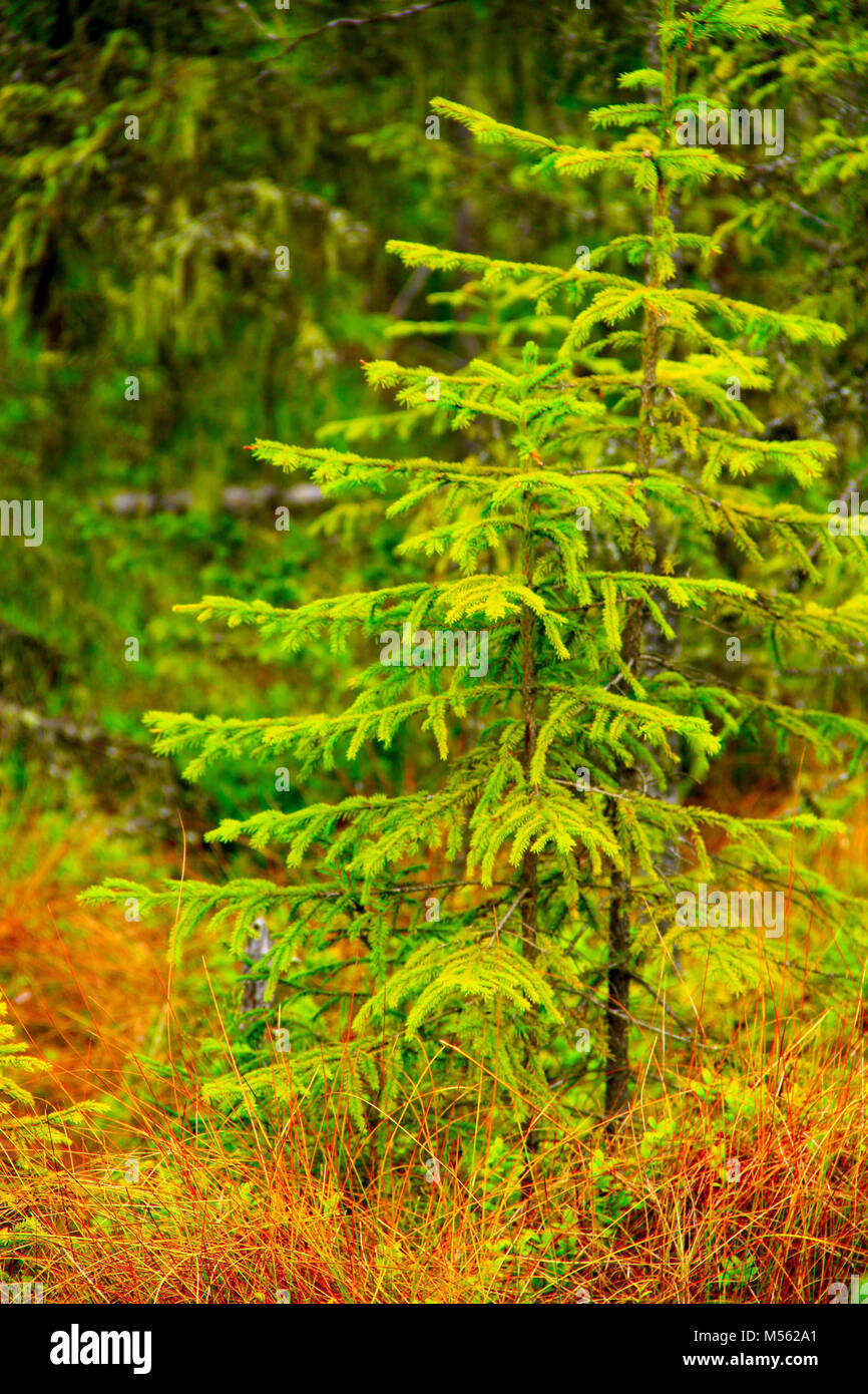 green young spruces growing in the forest - Stock Image
