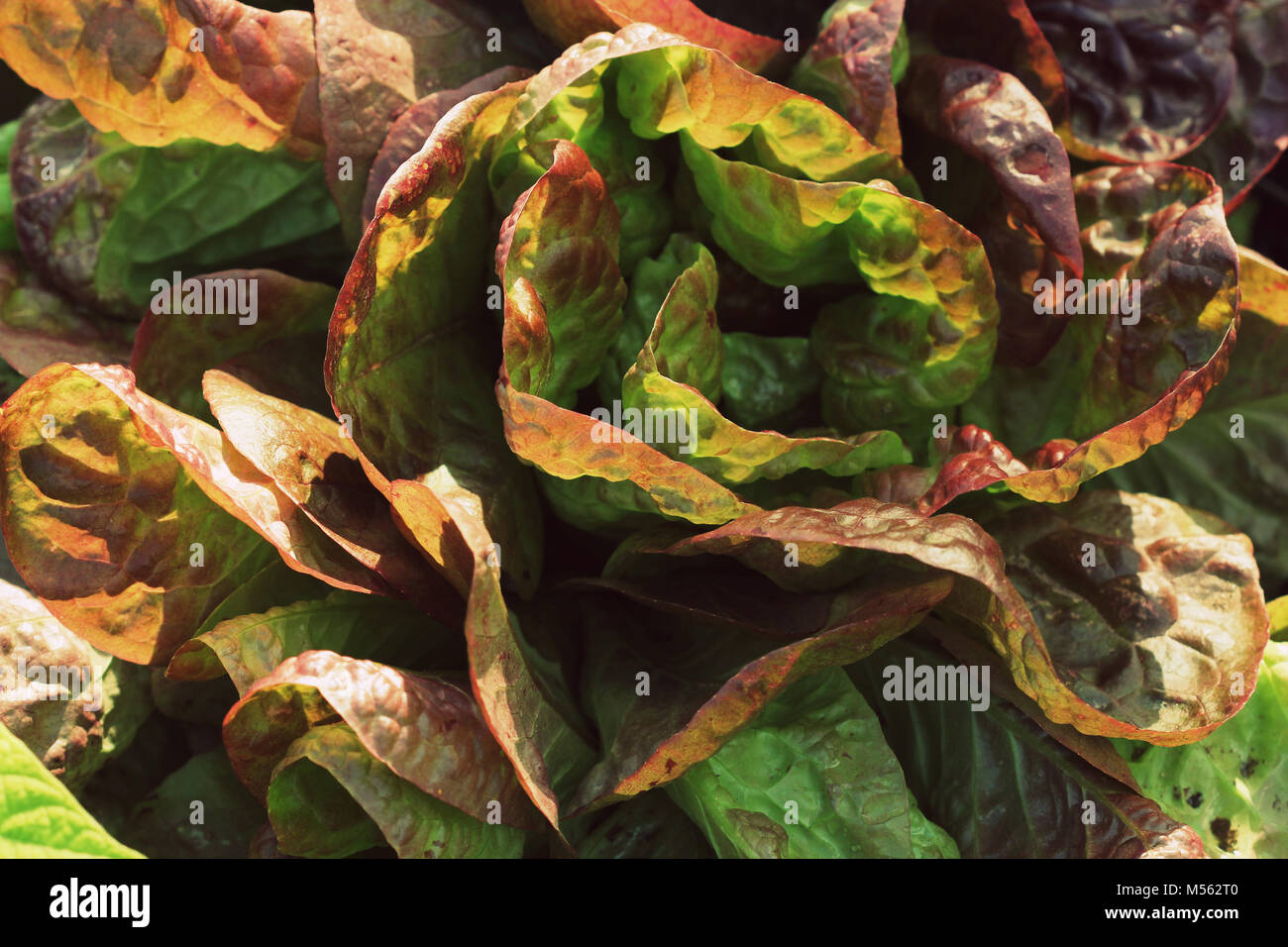 Red Cabbage Growing In Garden Stock Photos & Red Cabbage Growing In ...