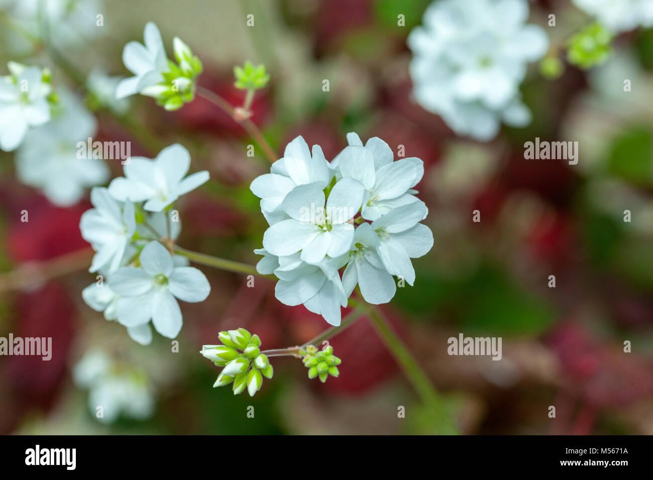 Old father live forever, Sankthelenapelargon (Pelargonium cotyledonis) - Stock Image