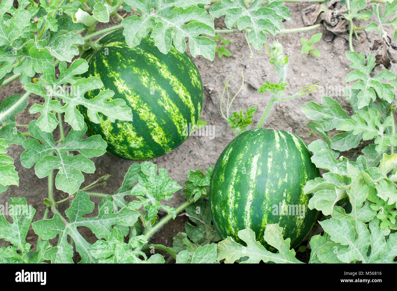 how to draw a watermelon plant