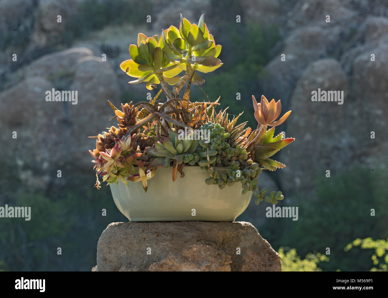 A ceramic flower bowl with different succulents - Stock Image