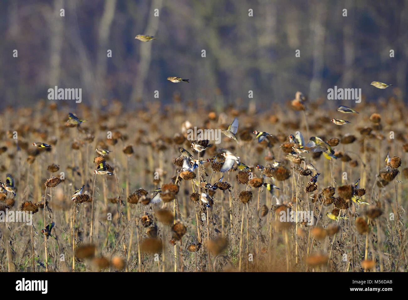 Finches swarm - Stock Image