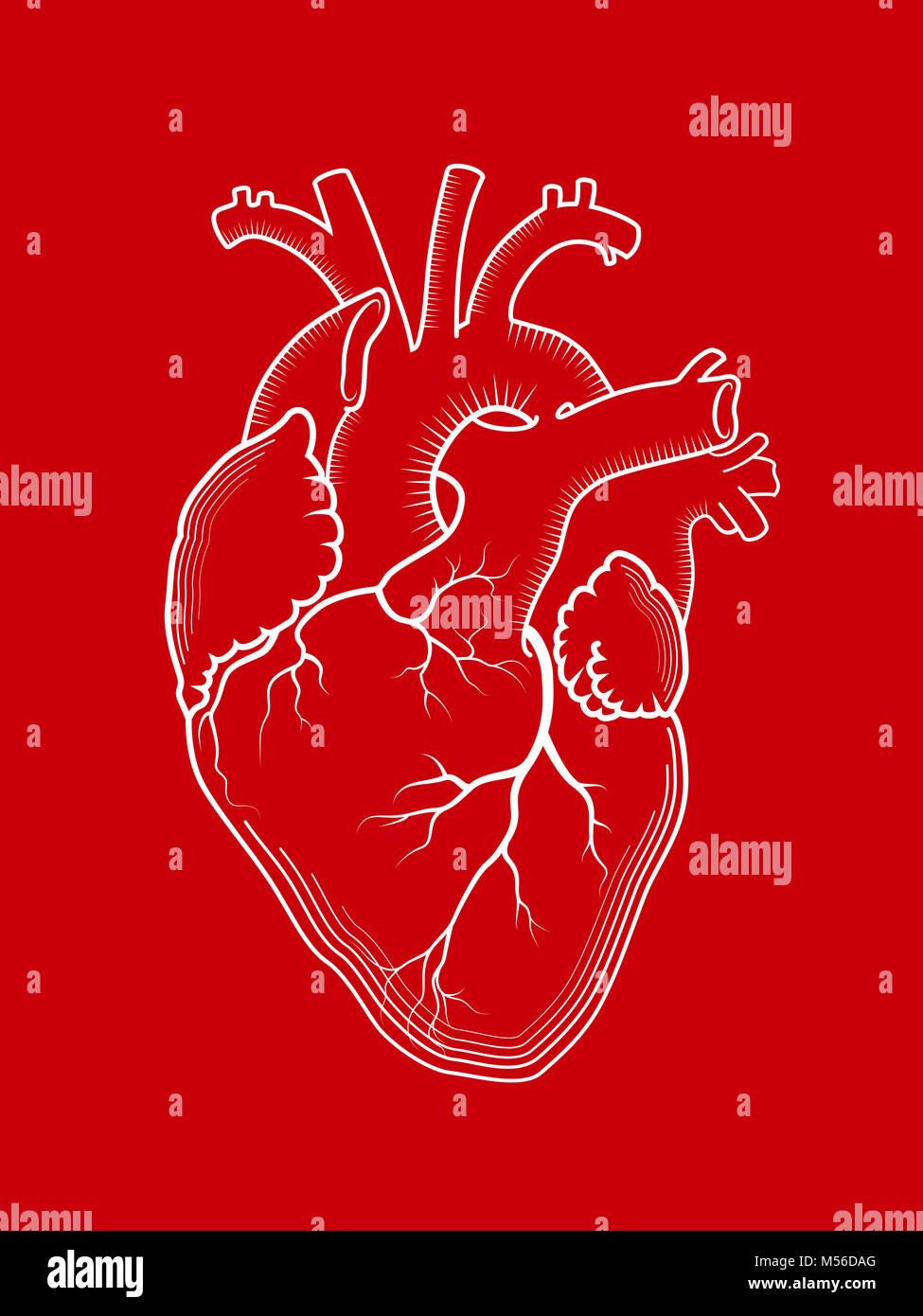 Heart. The internal human organ, anatomical structure. - Stock Image