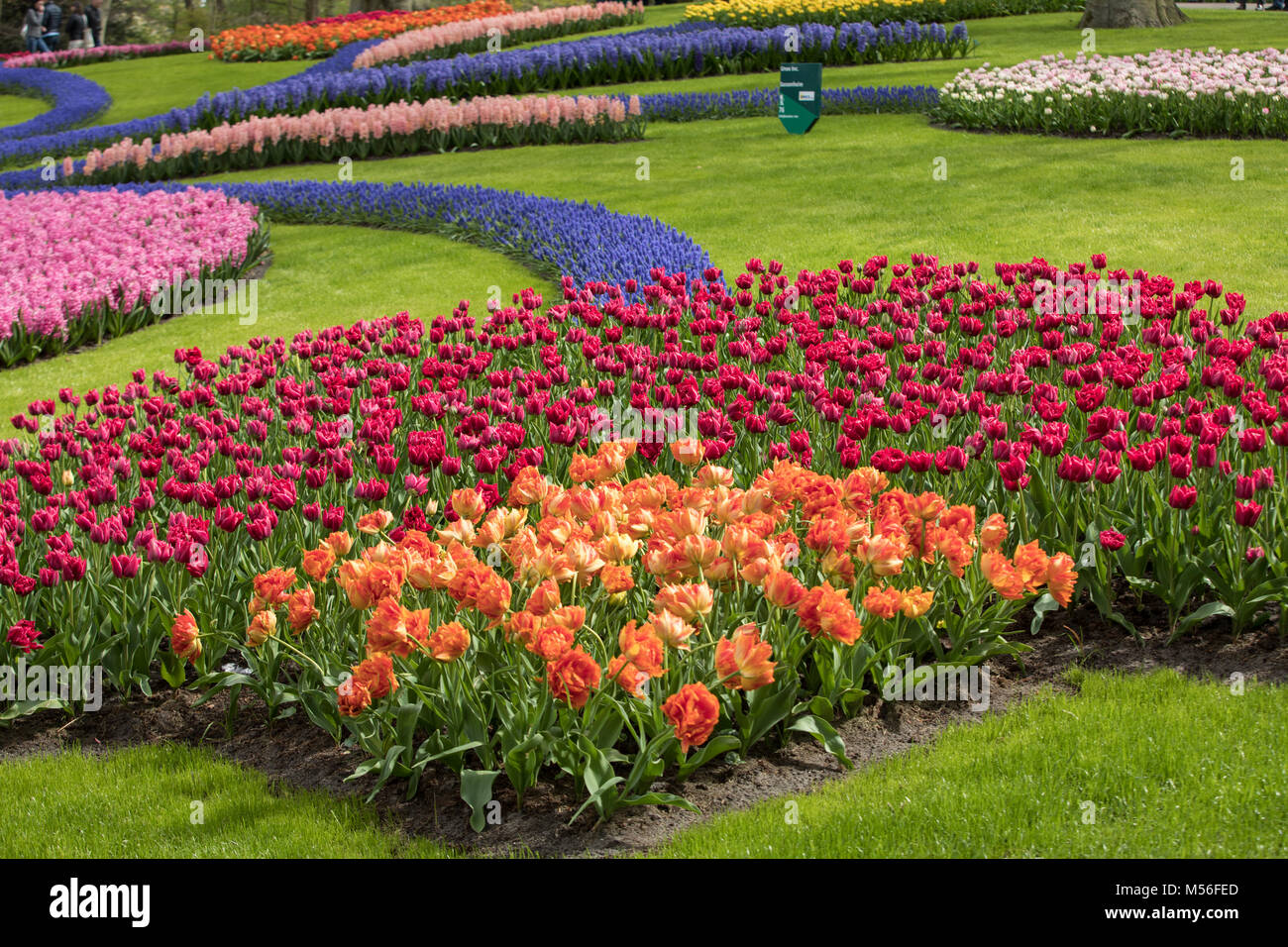 Colorful flowers in the Keukenhof Garden in Lisse, Holland, Netherlands. - Stock Image