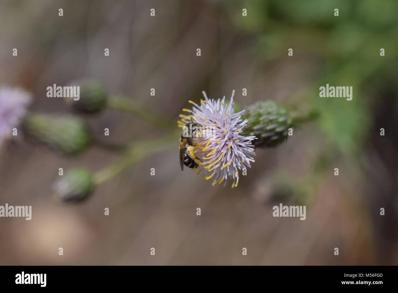 Bee on Purple Flower - Stock Image