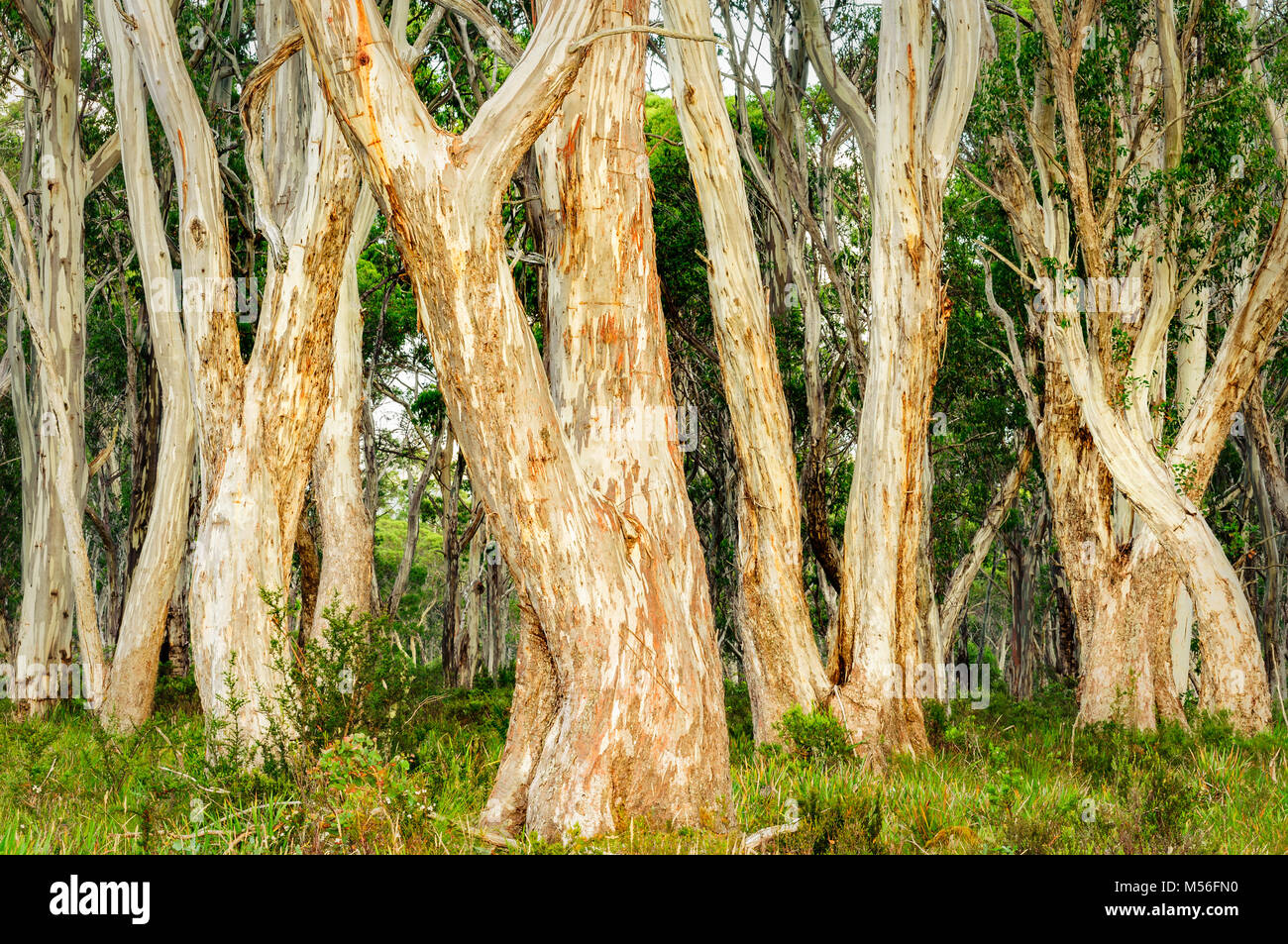 Snow Gum grove in Navarre Plains. - Stock Image