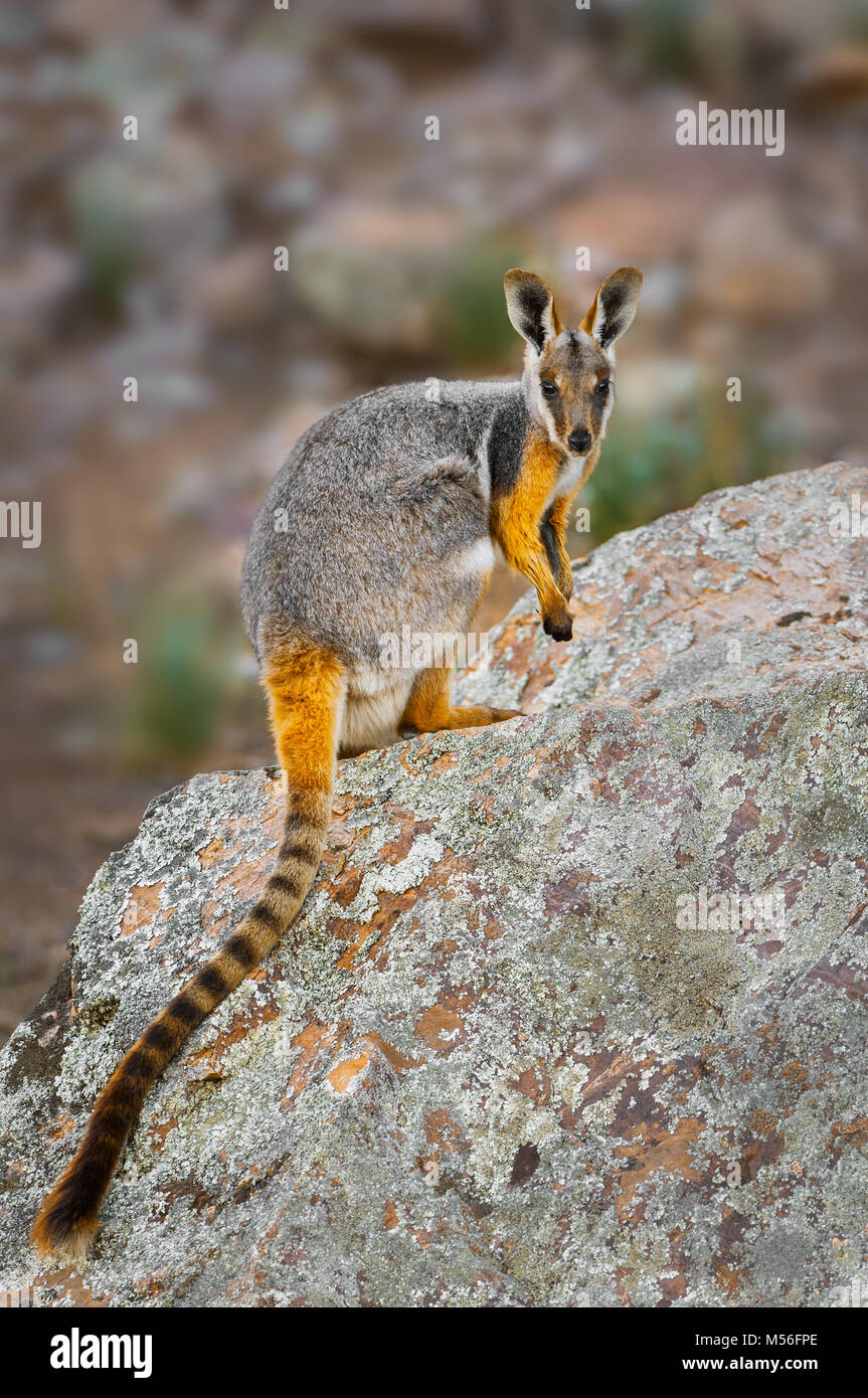 A rare Yellow-footed Rock-wallaby sitting on a rock. - Stock Image