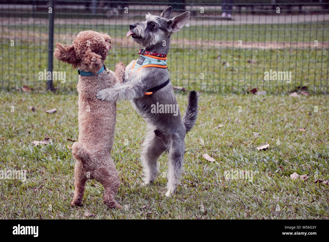 Cute dog, happy dogs playing at park - Stock Image