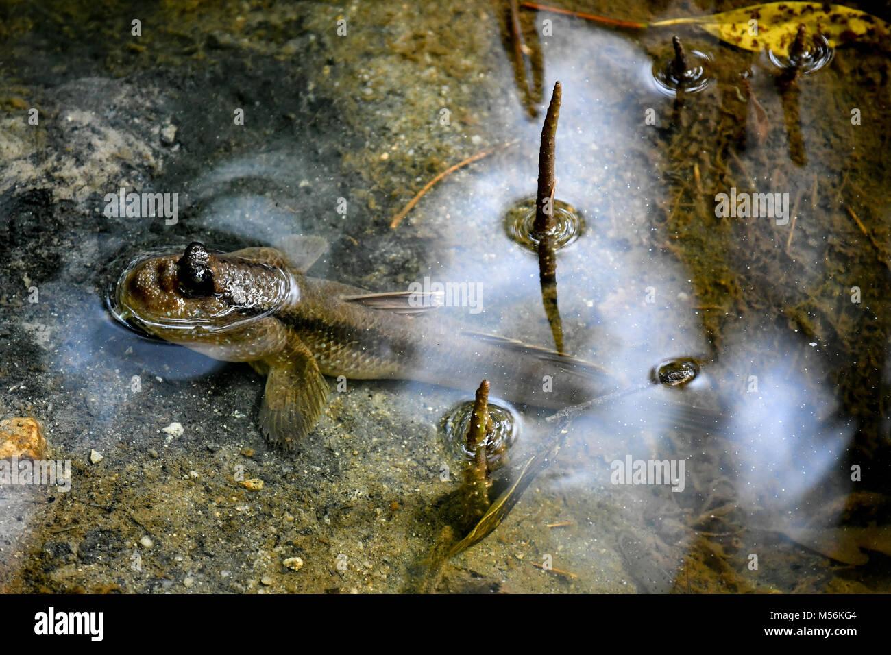 Wild Mudskipper Fish - Stock Image