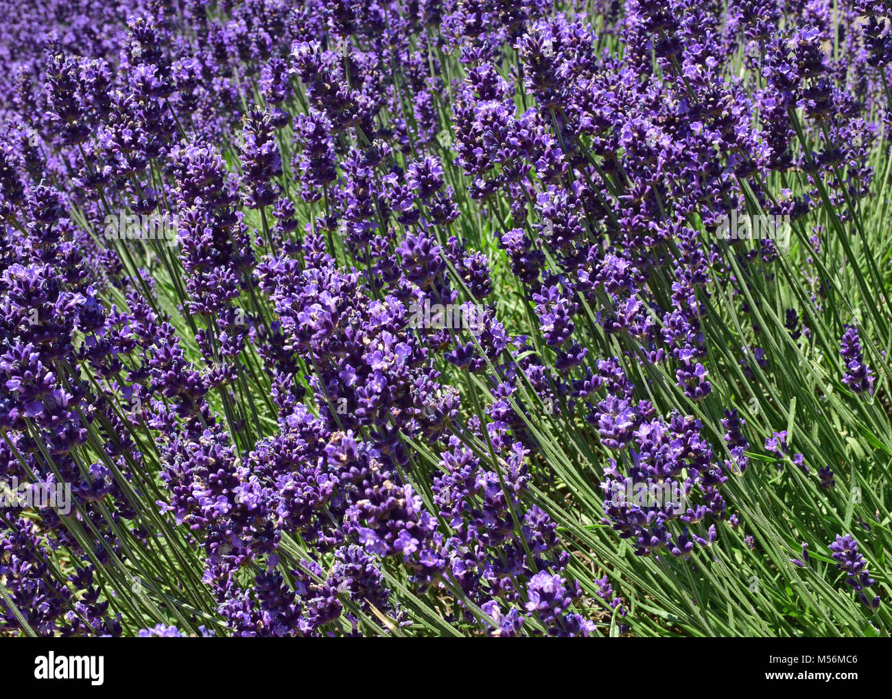 Close up ultra violet lavender blooming in a field. Lavandula angustifolia. Natural look. - Stock Image