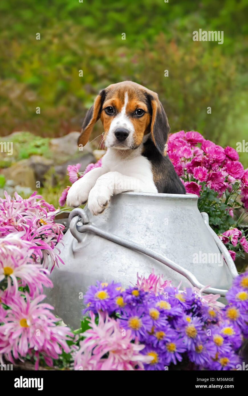 A Young Puppy Eyed Tricolor Beagle Puppy A Scenthound Dog Breed Is Stock Photo Alamy