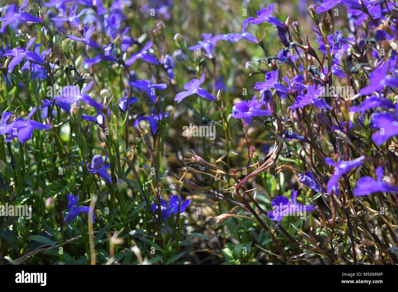 Lobelia Lobelia Erinus In Flower Stock Photos Lobelia Lobelia