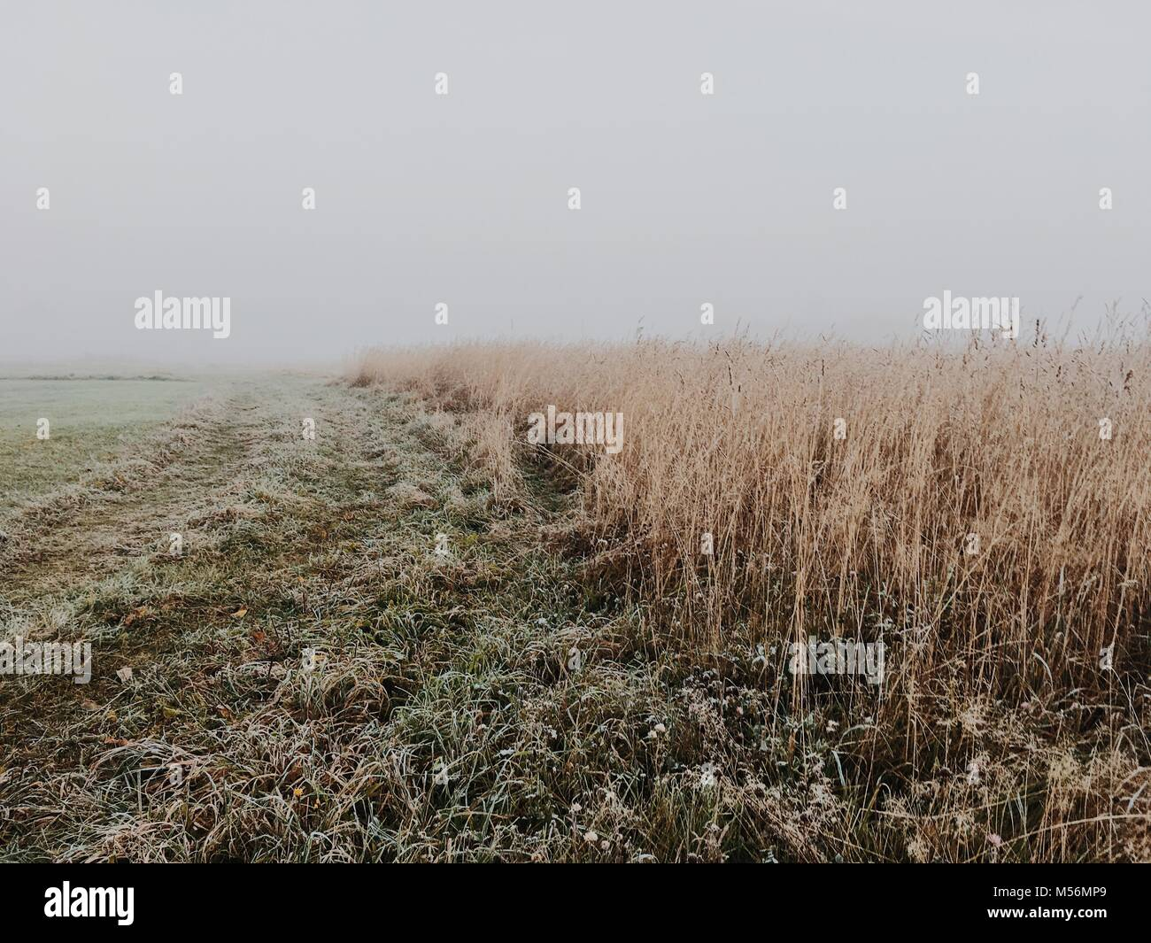 White nothing behind wheat field. Harsh autumn scene with fog. Stock Photo