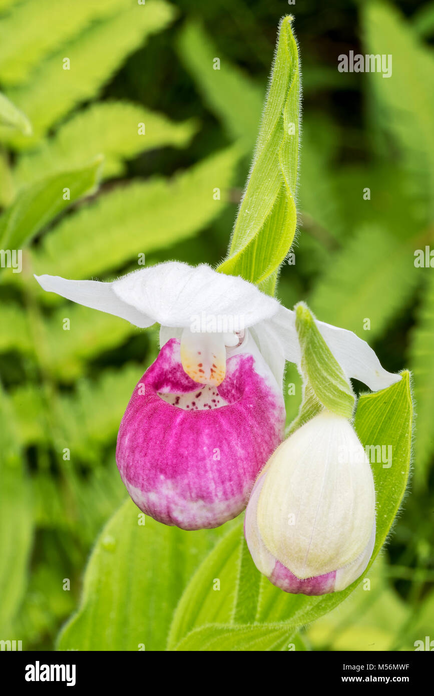 Showy Lady's Slipper blooming flower and bud at Eshqua Bog Natural Area, TNC preserve, Vermont. - Stock Image