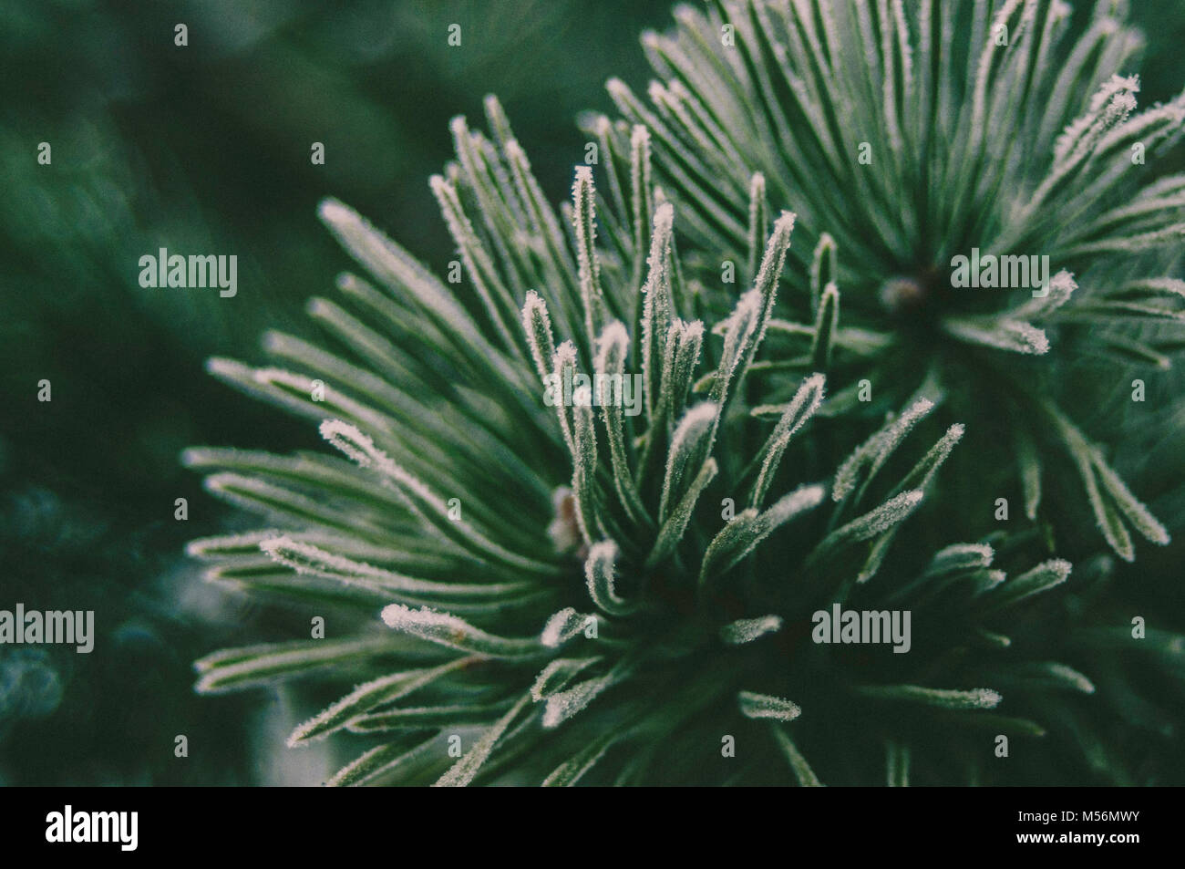 Green Spruce branches. Forest mood. Winter light. - Stock Image