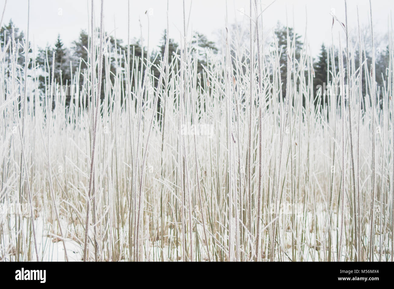 Frozen branches. Fresh winter morning. Stock Photo