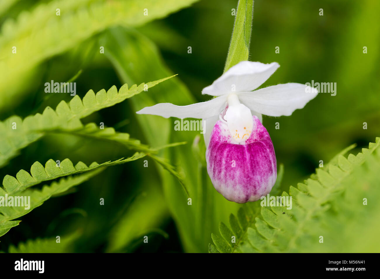 Showy Lady's Slipper flower blooming amid Cinnamon Ferns at  Eshqua Bog Natural Area, TNC preserve, Vermont. - Stock Image