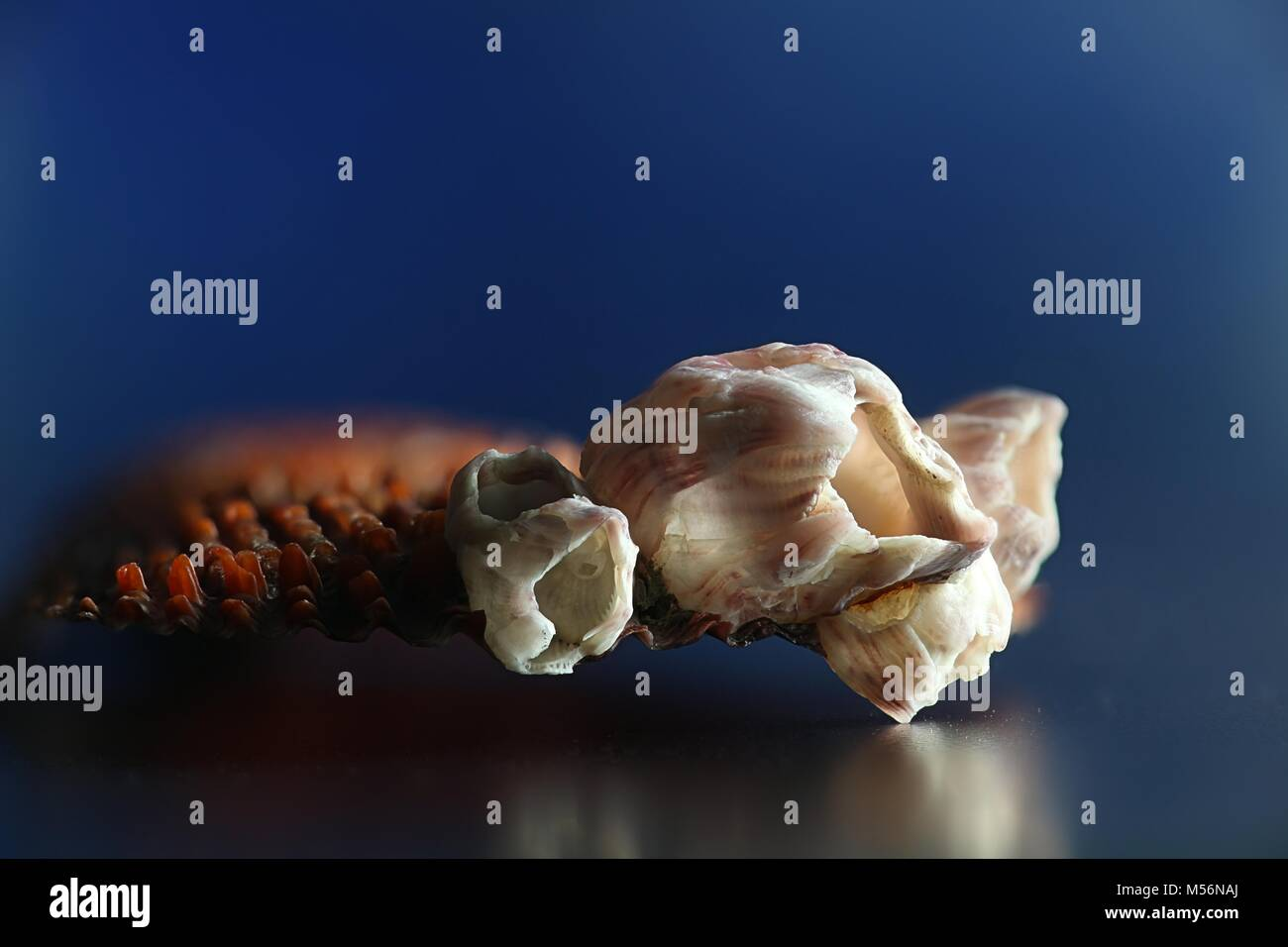 Bay Barnacle, Amphibalanus improvisus, an invasive harmful species - Stock Image