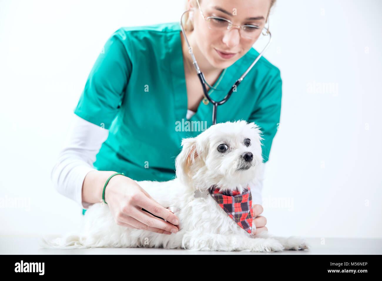 Female vet examinates a dog using a stethoscope - Stock Image