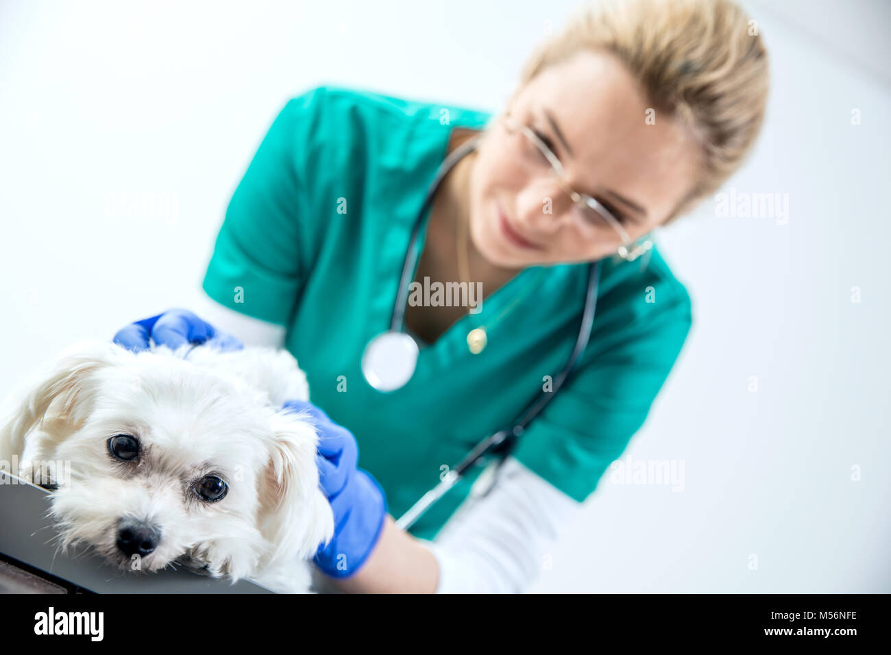 Female vet examines the dog - Stock Image