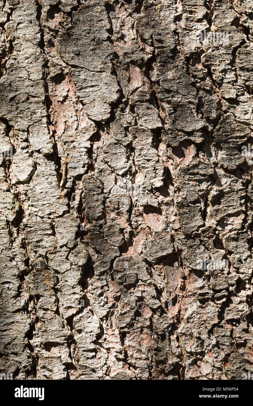 Gewöhnliche Fichte, Fichte, Rot-Fichte, Rotfichte, Rinde, Borke, Stamm, Baumstamm, Picea abies, Common Spruce, - Stock Image