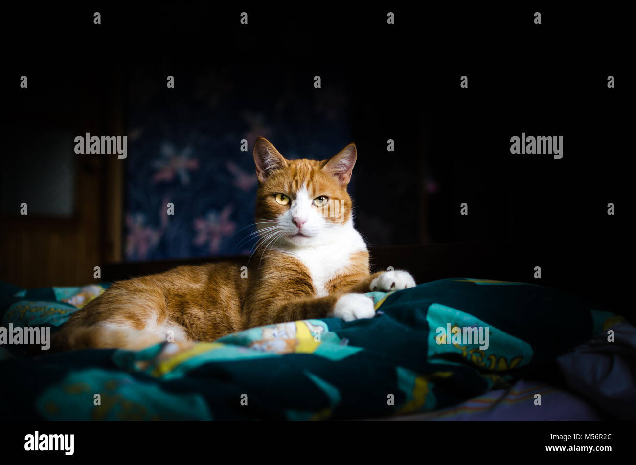 A portrait of a cat lying on the bed - Stock Image
